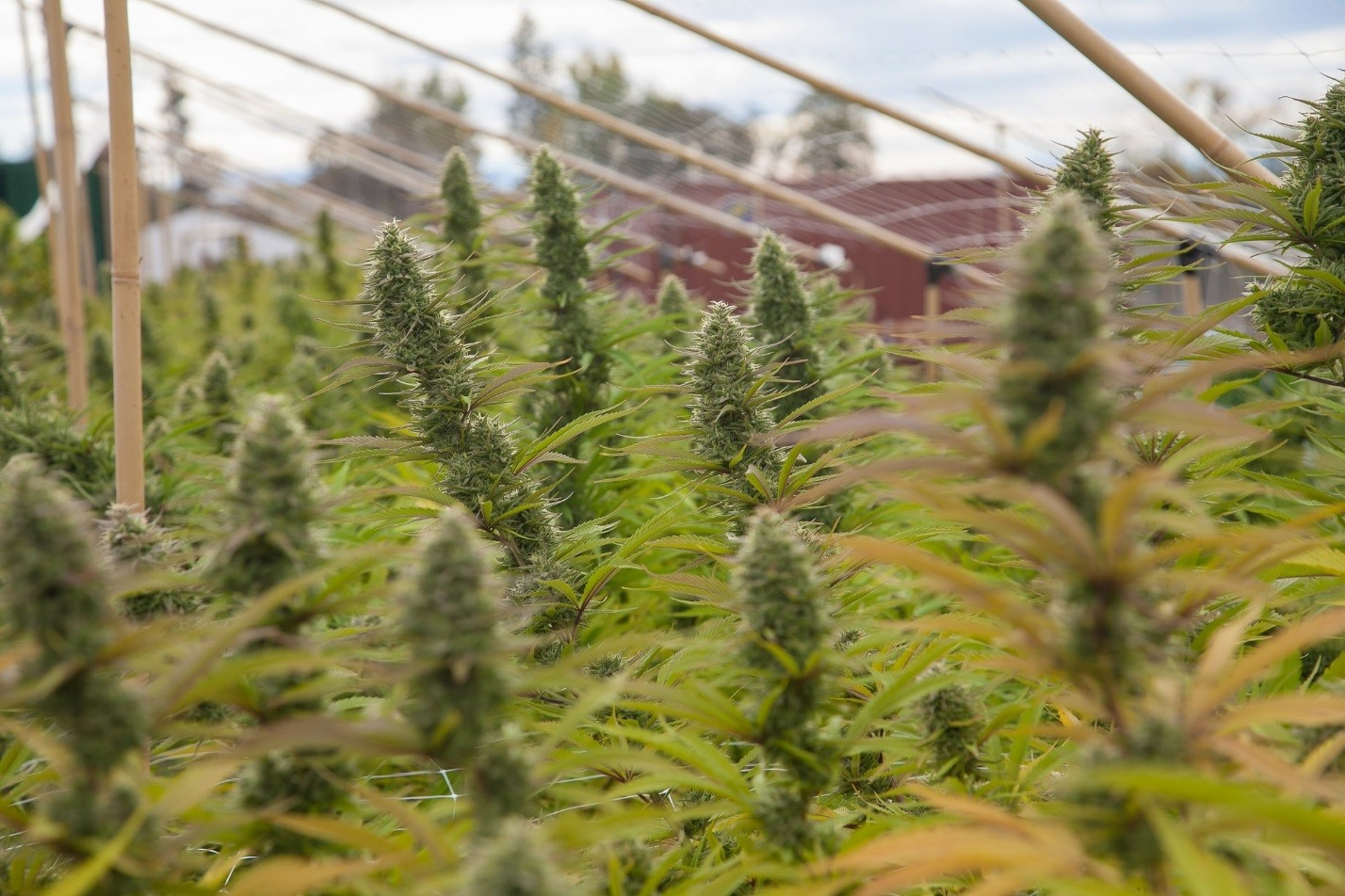 marijuana industry 0